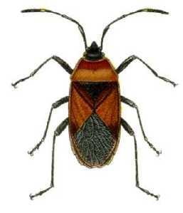 Dindymus_versicolor_from_CSIRO